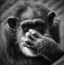 chimp brain